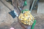 Zeepaard, seahorse, art, chainsaw, kettingzaagkunst, beeld, sealife, coral, kunst